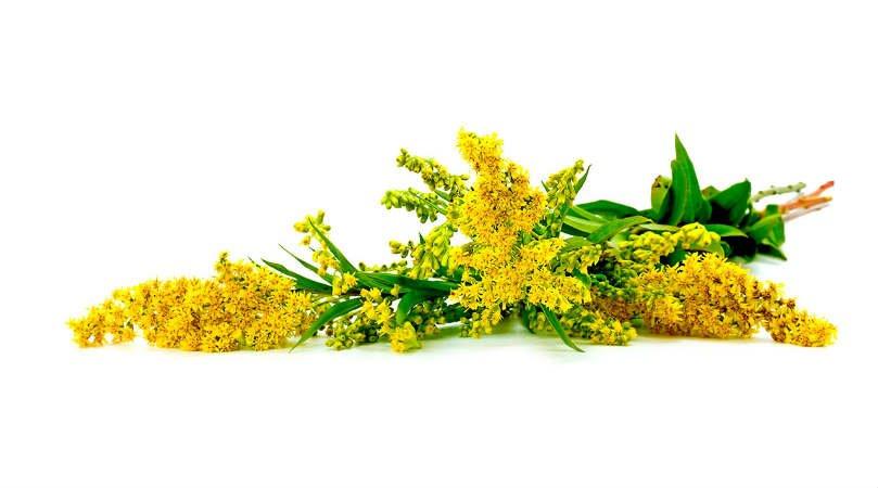 planta medicinal vara de oro para limpiar los riñones