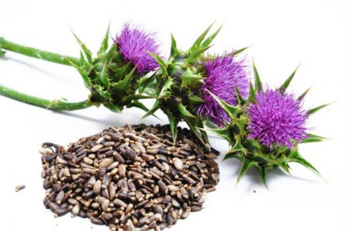 planta medicinal cardo mariano para el higado