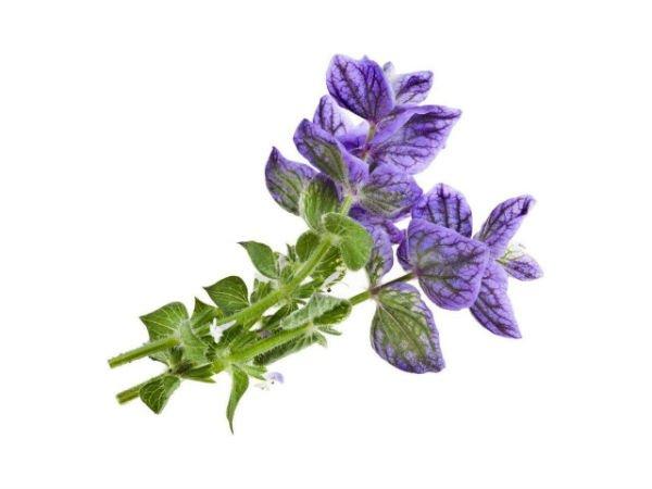 plantas medicinales para el acné salvia para tratar el acne