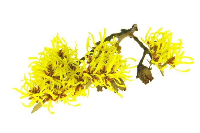 plantas medicinales para varices hamamelis
