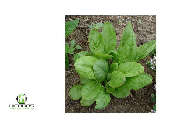 hierbas acedera para bajar de peso