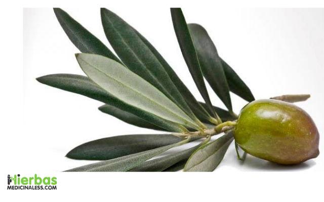 como preparar el olivo para cicatrizar heridas abiertas