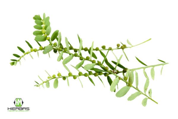 te de hojas de chancapiedra para aliviar dolores de colicos renales