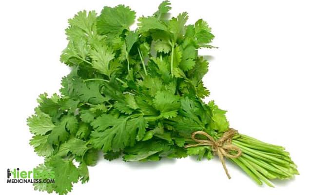 agua de cilantro para adelgazar
