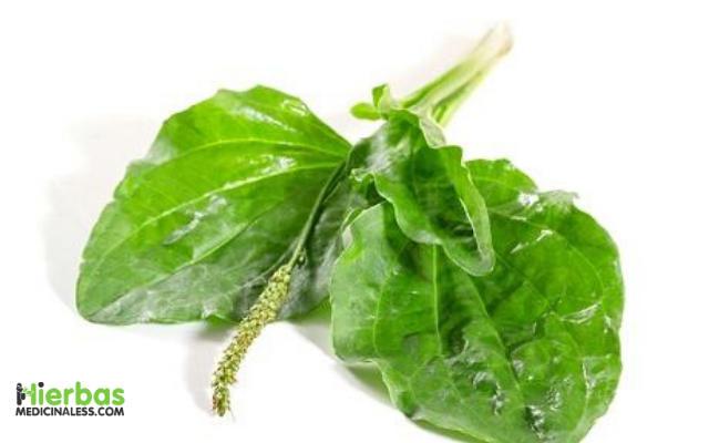 hojas de llanten para bajar de peso de forma natural