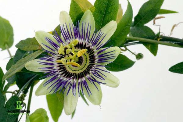 como preparar la planta pasionaria para tratar el insominio